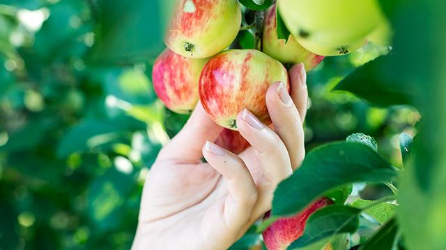 Leckere Äpfel als Versuchung