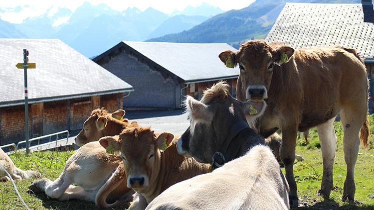 Einige der 70 Kühe auf der Alp