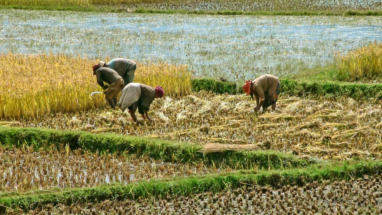 Reisbauern in Madagaskar