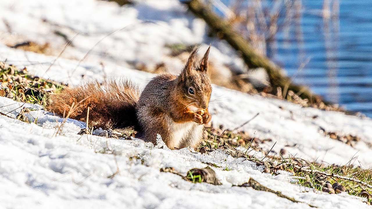 Eichhörnchen im Winter in Belgien