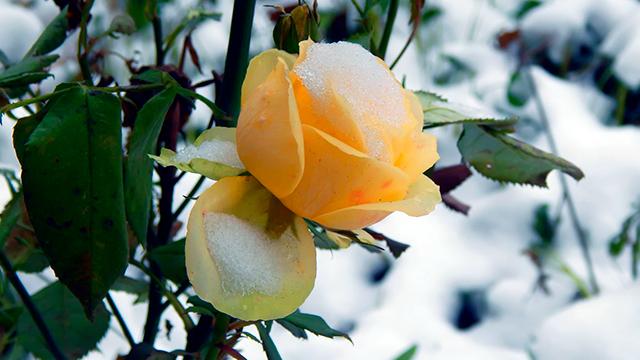 Schneebedeckte Rose