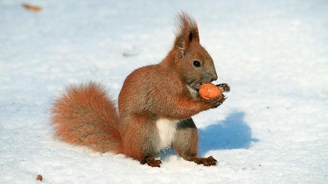 Eichhörnchen mit Nuss im Winter