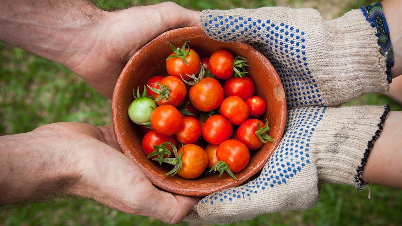 Geerntete Tomaten | (c) unsplash