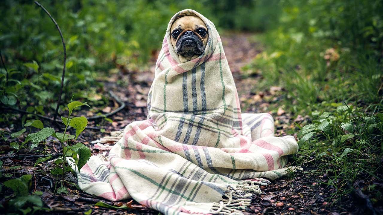 Mops ist in Decke eingehüllt und sie dabei ein bisschen wie E. T aus