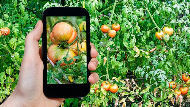 Smartphone und Tomaten