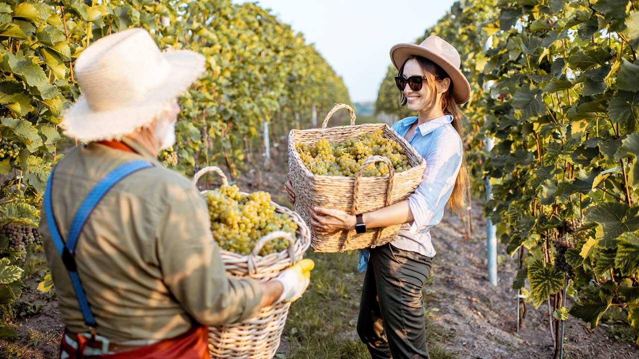 Älterer Mann und jüngere Frau tragen Boxen mit Körben voll von Trauben