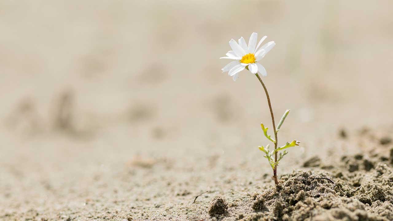Gänseblümchen im Sand