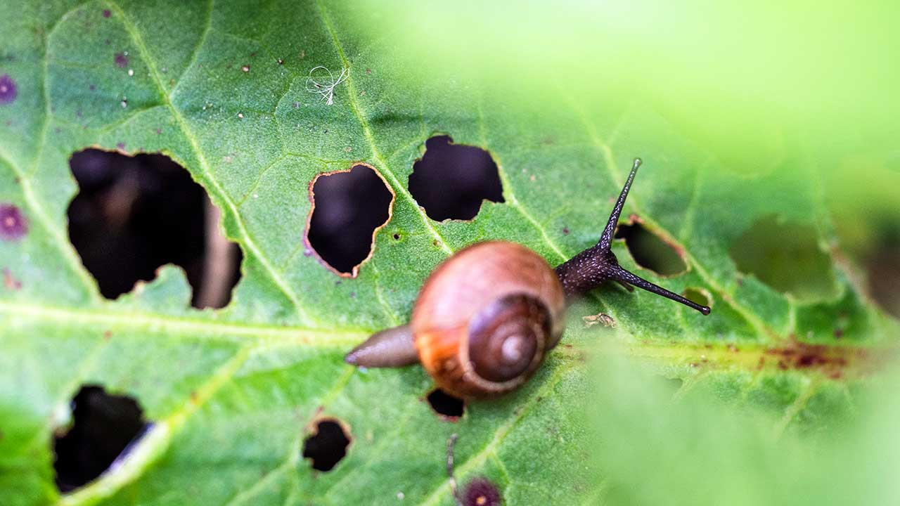 Schnecke auf einem gelöcherten, angefressenen Blatt