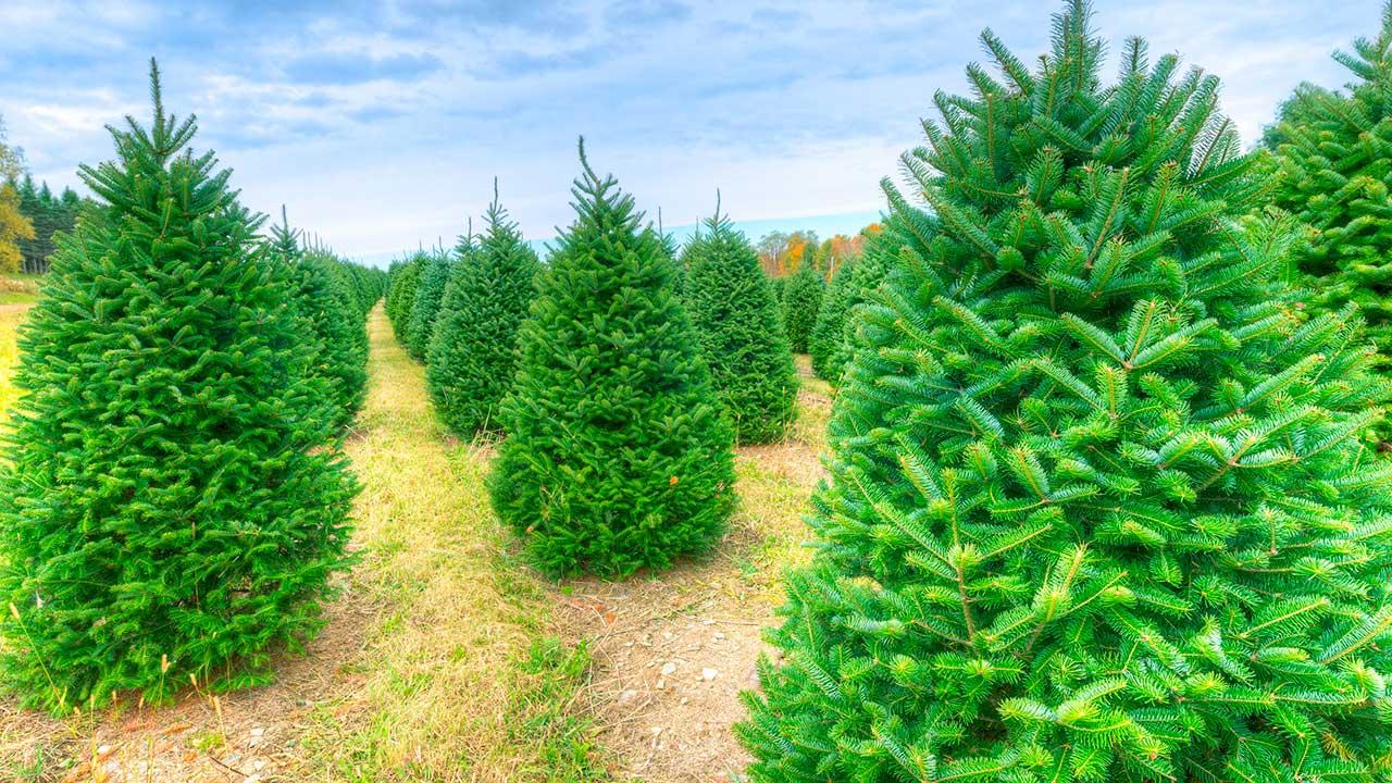 Weihnachtsbaumkultur | (c) 123rf