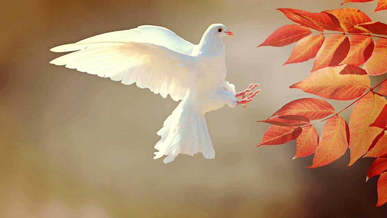 Eine weisse Taube fliegt