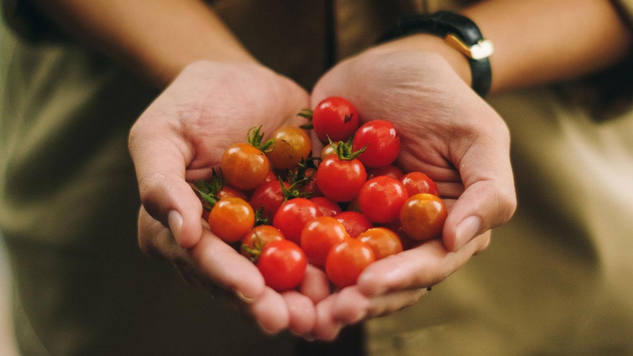 Reife Tomaten in den Händen von einer Frau