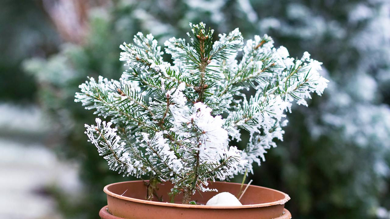 Pflanze im winterlichen Topf