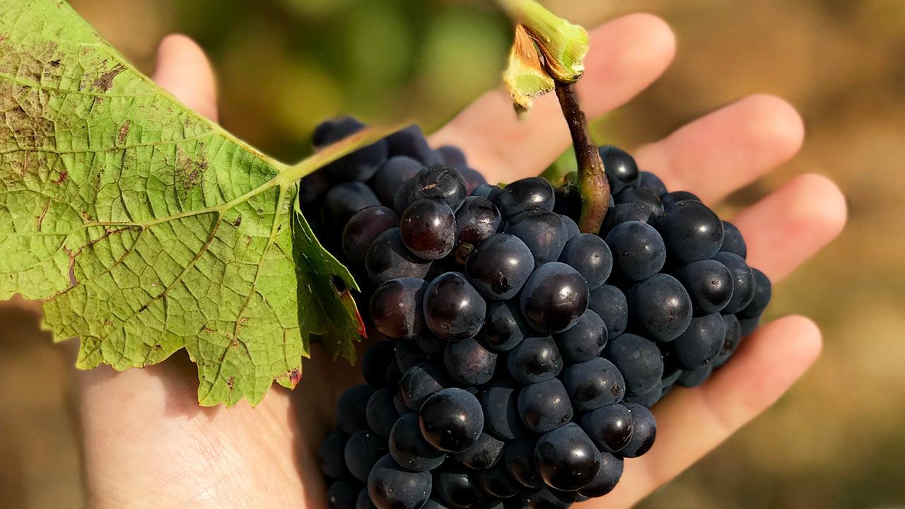 Erntezeit - erfolgreicher Winzer mit seiner reifen Frucht | (c) unsplash