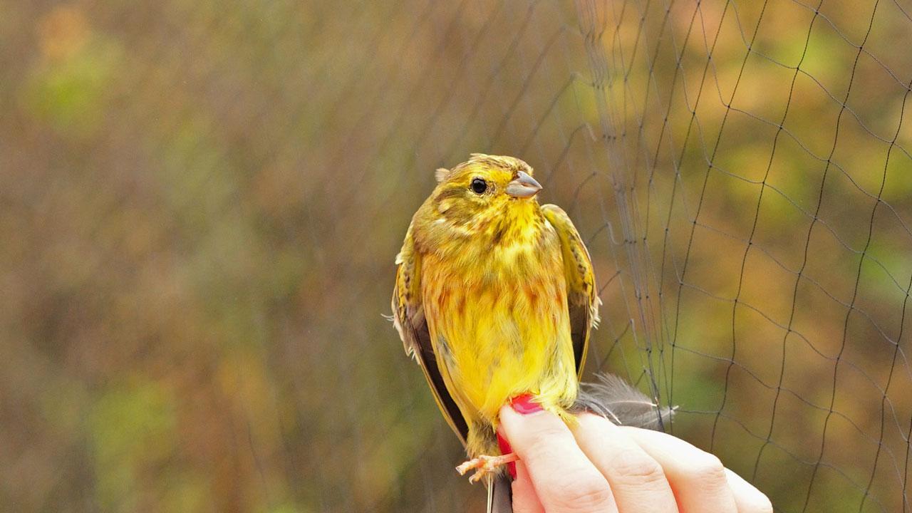 Ein Vogel aus einem Netz befreit