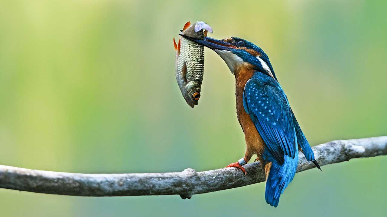 Vogel mit gefangenem Fisch sitzt auf einem Ast