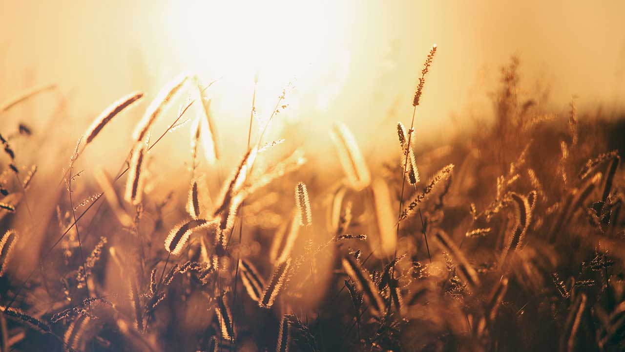 Weizenfeld im gelblichen Licht eines Sonnenuntergangs