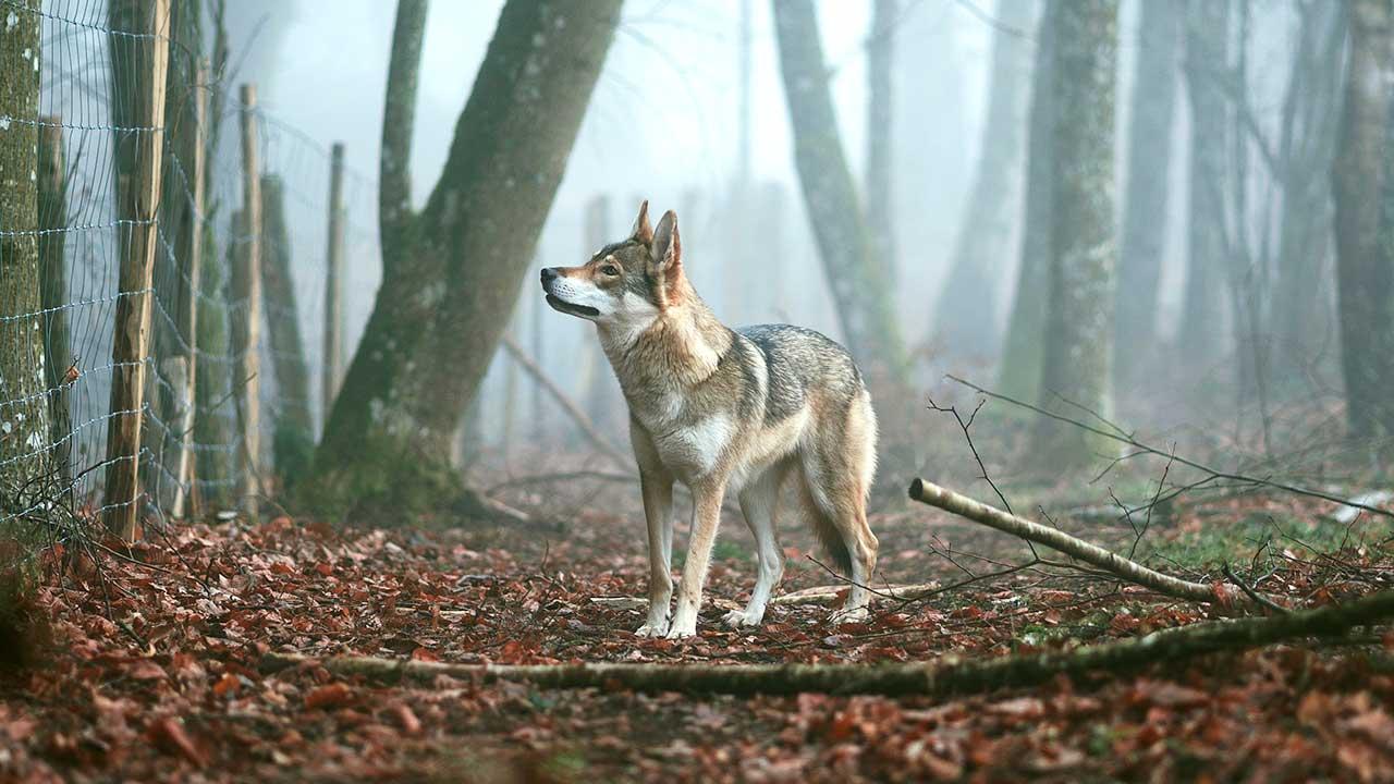 Wolf vor einem Zaun