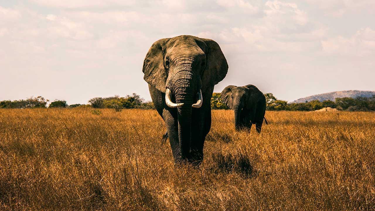 Frontalansicht von zwei Elefanten, welche hintereinander laufen
