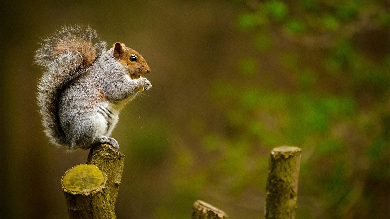 Ein Eichhörnchen auf einem Ast.