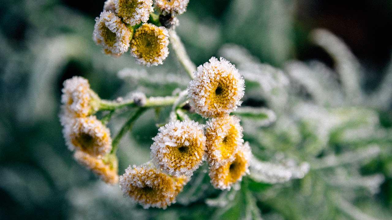 gelbe Blumen im Morgenfrost