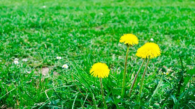 Rasen mit Löwenzahn