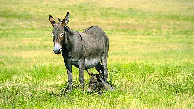 Eselin mit Fohlen