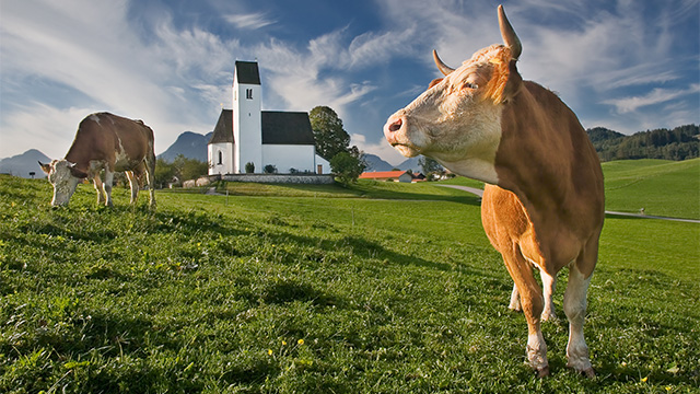 Kühe, Vieh
