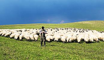 Hirte und Herde