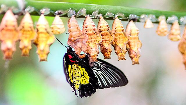 Schmetterling mit Kokons