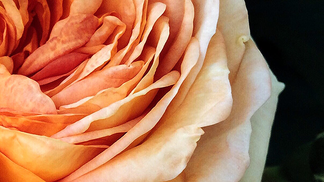 Smartphone-Foto: Rose