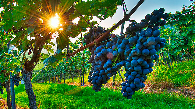 Weintstock mit Trauben